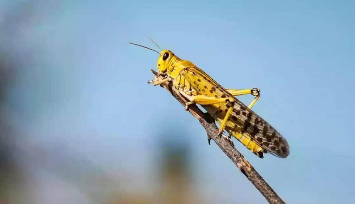 Locust Plagues in Arizona?